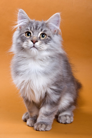 fluffy: Fluffy gray kitten sitting and looking up on a brown background