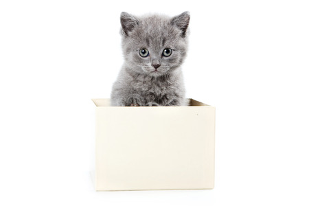 british pussy: Fluffy gray kitten sits in a box (isolated on white)