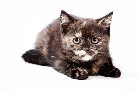 british pussy: Brown fluffy kitten looking at the camera (isolated on white) Stock Photo