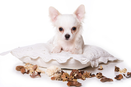 lays down: White chihuahua puppy on a pillow (isolated on white) Stock Photo