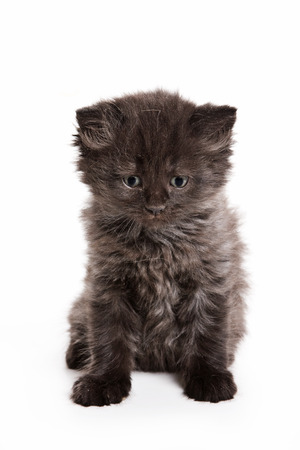 cur: Black fluffy kitten (isolated on white)