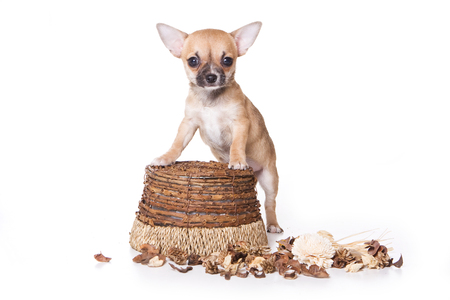 dog isolated: Beige chihuahua puppy dog in a basket (isolated on white) Stock Photo