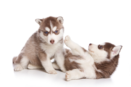 lays down: Several puppies husky dog with blue eyes (isolated on white)