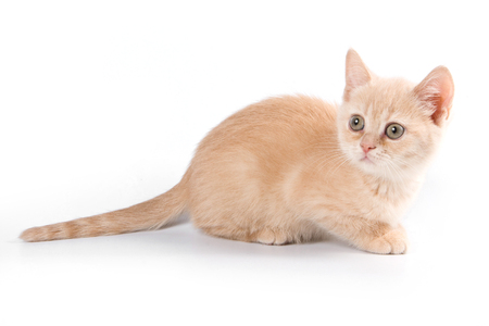 lays down: Ginger tabby kitten