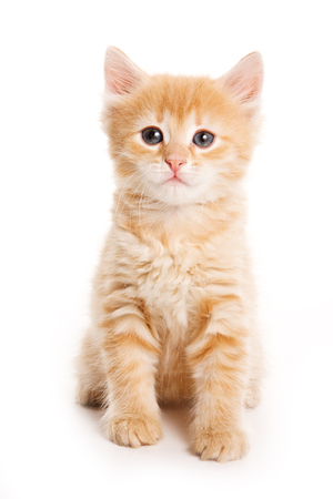 small dog: Ginger tabby kitten looking at the camera (isolated on white) Stock Photo