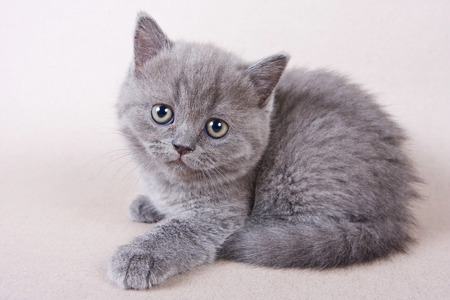 looking into: Gray British kitten looking into the camera Stock Photo