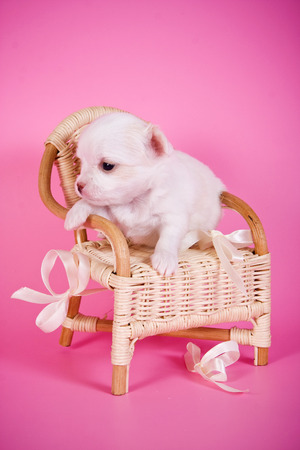 cute puppy: Cute white chihuahua puppy dog on a pink background and a chair