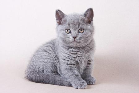 fluffy: Gray British kitten looking into the camera Stock Photo