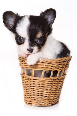 fluffy: Cute chihuahua puppy in a basket (isolated on white) Stock Photo
