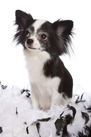 boas: Chihuahua puppy and feathers (isolated on white)