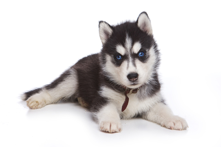 lays down: Fluffy Puppy Husky dog with blue eyes (isolated on white)