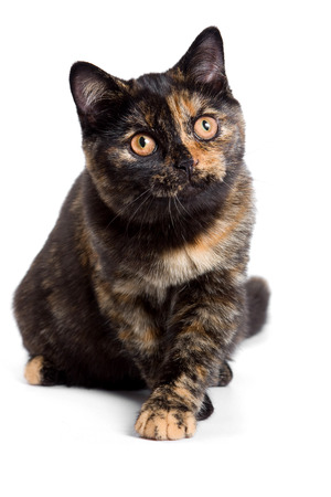 british pussy: Black British cat (isolated on white)