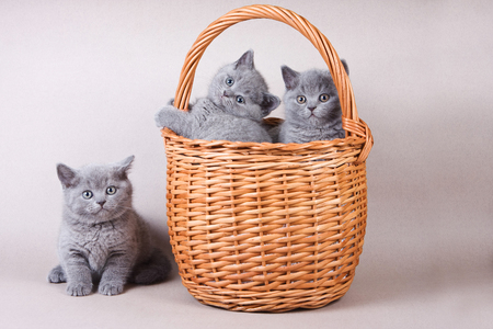 pussy cat: Several gray kitten British cat and basket Stock Photo