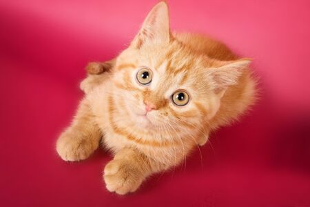 lays down: Ginger tabby kitten on a red background