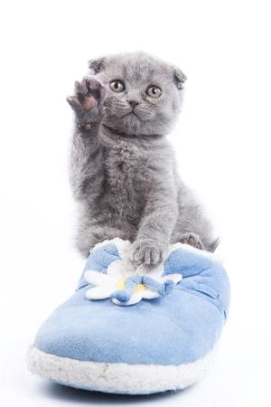 Gatito gris y zapatillas de deporte Fold escocés (aislado en blanco)