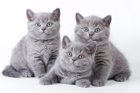 british shorthair: Several kittens lying and looking at the camera (isolated on white)