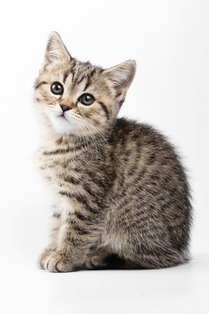 cat isolated: Fluffy gray kitten British cat (isolated on white) Stock Photo