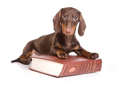 lays down: Puppy dachshund and a book (isolated on white)