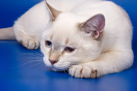 lays down: Sad white cat lying on a blue background Stock Photo