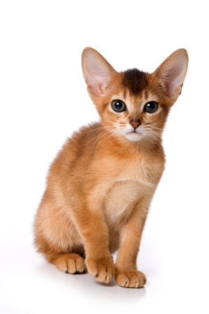 abyssinian cat: Ginger kitten Abyssinian (isolated on white) Stock Photo