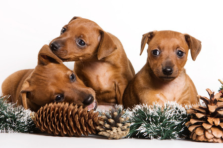 lays down: Several Red pinscher puppy and New Year (isolated on white)
