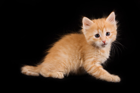 cur: Touching ginger kitten on a black background