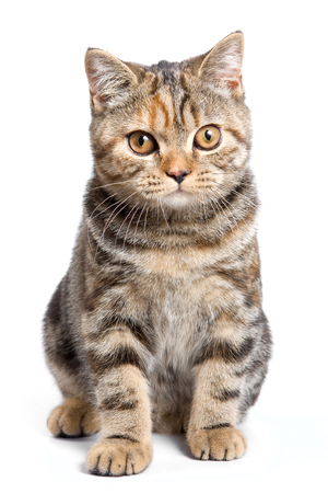 cat isolated: Striped red british cat (isolated on white)
