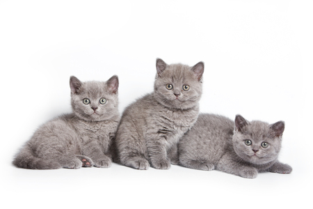 lays down: Several kittens lying and looking at the camera (isolated on white)