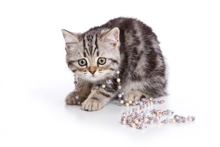 grey tabby: Grey tabby kitten British cat, beads (isolated on white)