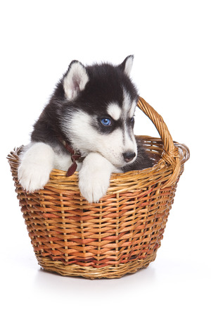 cute puppy: Fluffy Puppy Husky dog with blue eyes in a basket (isolated on white)