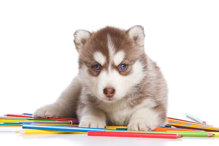 cubs: Husky puppy dog with blue eyes with pencils (isolated on white) Stock Photo