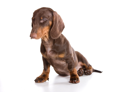 Puppy dachshund (isolated on white) Standard-Bild