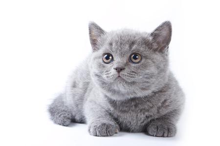 british pussy: Gray kitten British cat lies (isolated on white)