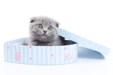 british pussy: Gray kitten Scottish Fold and the box (isolated on white) Stock Photo
