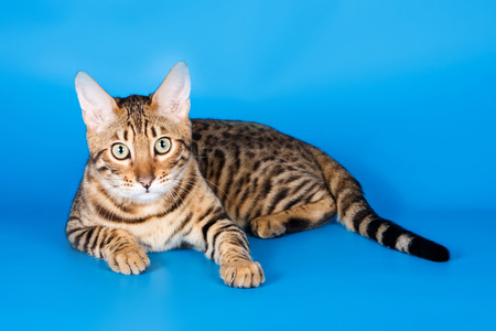 lays down: Striped red cat on a blue background bengal Stock Photo