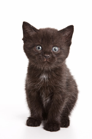 cur: Black fluffy kitten looking at the camera (isolated on white)
