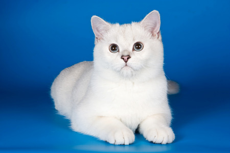 british pussy: White fluffy cat on a blue background