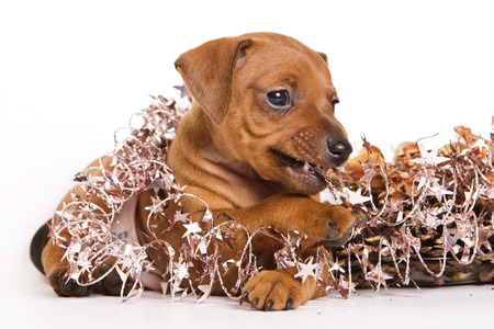 lays down: Red Pinscher puppy and New Year (isolated on white)