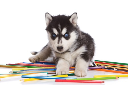 lays down: Husky puppy dog with blue eyes with pencils (isolated on white) Stock Photo