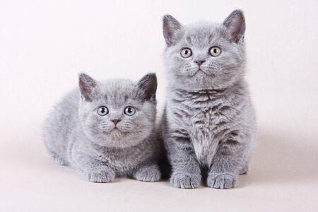 gray cat: Several gray kitten British cat