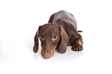 lays down: Puppy dachshund (isolated on white) Stock Photo