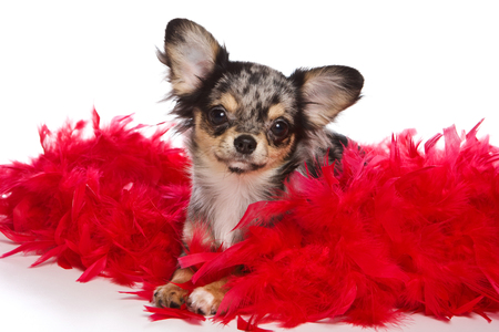 boas: Chihuahua puppy and red feathers (isolated on white) Stock Photo