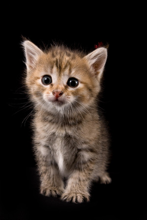cur: Fluffy red kitten looking at the camera (isolated on black) Stock Photo