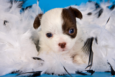 boas: Cute chihuahua puppy dog on a blue background