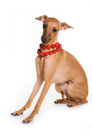 Italian greyhound dog and red beads (isolated on white) Stock Photo