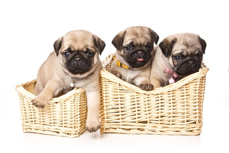 cute puppy: Three pug puppy in a basket (isolated on white) Stock Photo