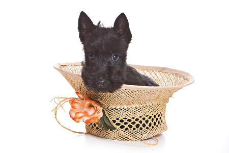 Puppy scotch terrier and hat (isolated on white)