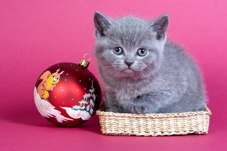 christmas pussy: Gray kitten blue cat on a red background