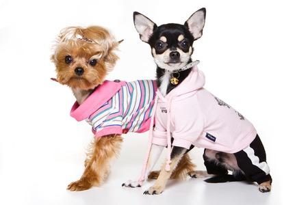 some: Glamorous york dog clothes (isolated on white)