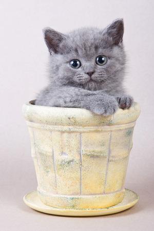 Gray kitten British cat